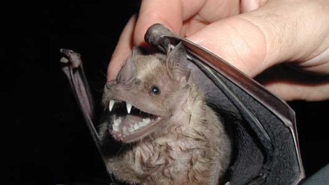 Los murciélagos son un foco de contagio de la rabia.