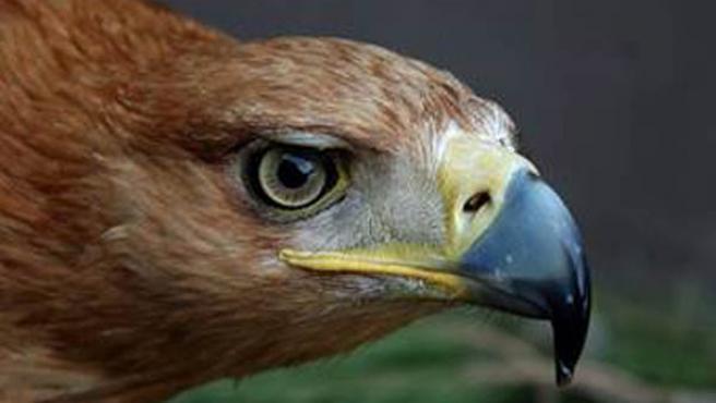 Ejemplar de águila imperial. (ARCHIVO)