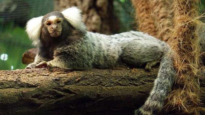 El tití común (Callithrix jacchus) es una especie de primate que habita en los bosques del oriente de Brasil (FOTO: WIKIPEDIA).