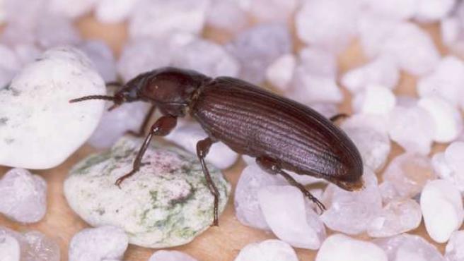 Este escarabajo sabe contar, según los científicos de la Universitat.