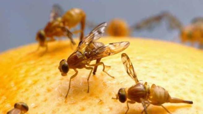 Imagen de varias moscas de la fruta.