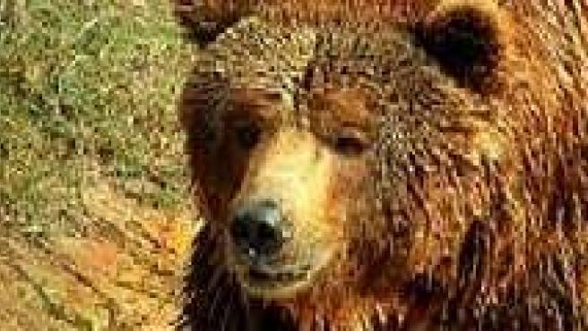 Un ejemplar de oso pardo.