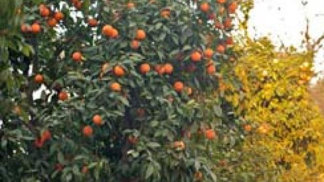 La potencialidad de los residuos de naranja, aunque como combustible, ya fue sido probada con éxito en California.