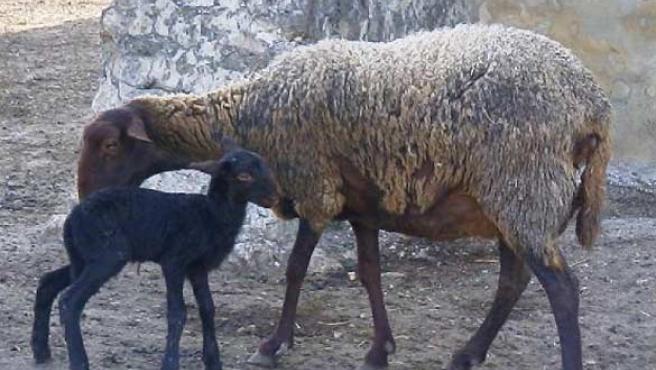 Una oveja y su cría, en una imagen de archivo.