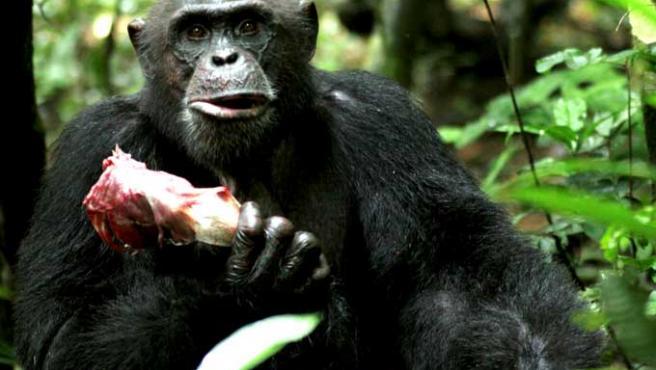 Un chimpancé macho sostiene en la mano una pieza de carne en el Parque Tai de Costa de Marfil.