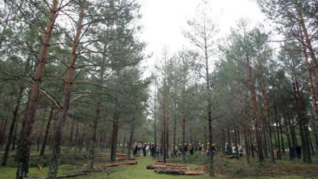 Bosque Modelo en el monte de Cabrejas del Pinar (Soria).