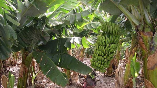 El cultivo del plátano en La Palma