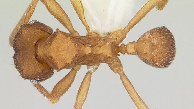 Un ejemplar de la hormiga 'Mycocepurus smithii', en una imagen de antweb.org.