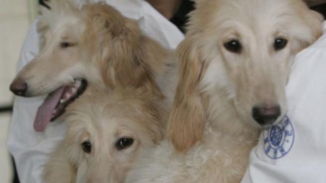Científicos de la Universidad Nacional de Seúl lograron clonar a estas tres perras genéticamente idénticas.