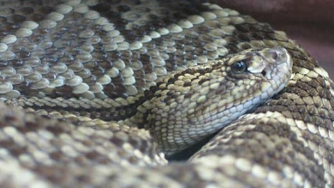 Las serpientes de cascabel son venenosas y originarias del continente americano, desde el sudeste de Canadá al norte de Argentina.