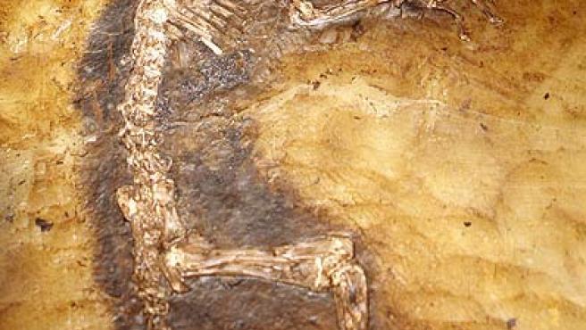 'Ida', el fósil de mono-lemur, presentado en el Museo de Historia Natural de Nueva York.