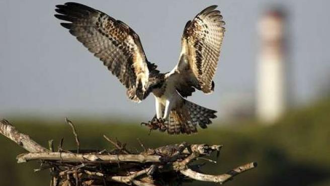 Imagen de un águila pescadora que ha logrado reproducirse en las Marismas del Odiel (Huelva).