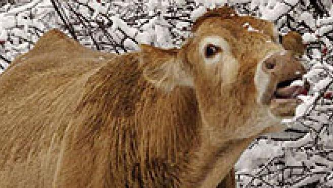 El mal de las vacas locas.