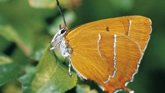 La mariposa 'Techla betulae' ha sido localizada por dos entomólogos tras 156 años sin noticias de ella.