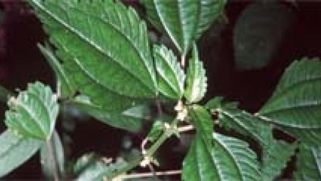 Hojas de planta variegadas (blancuzcas) que repelen a los insectos, que las creen enfermas o poco nutritivas.