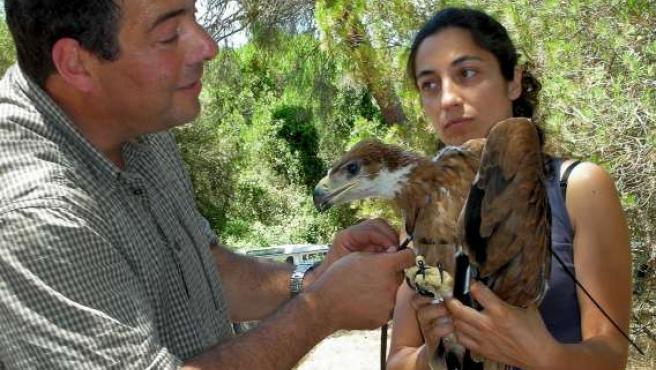 El especialista del CSIC, Miguel Ferrer, anillando y colocando de un transmisor a un pollo de águila imperial.