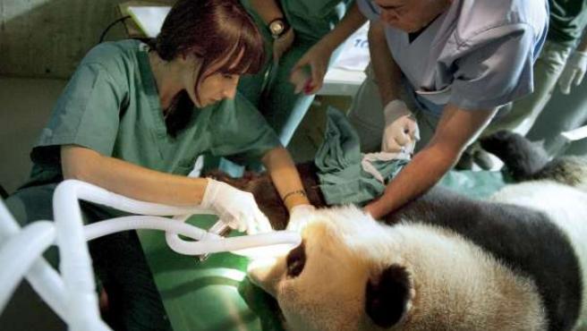 Veterinarios del Zoo Aquarium de Madrid durante la inseminación artificial de la osa panda Hua Zui Ba.