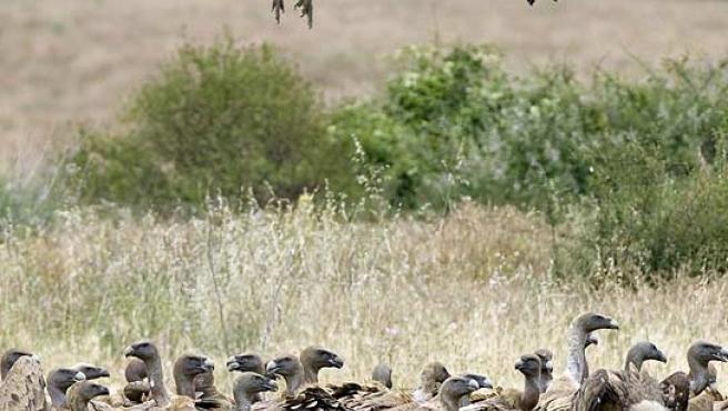 Las aves carroñeras podrán volver a tener comida en el campo.