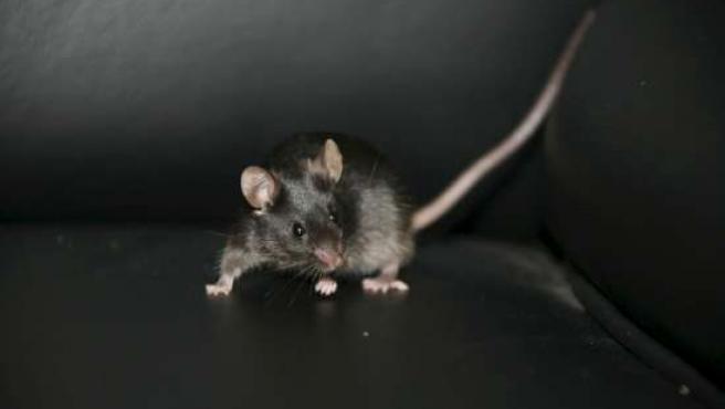 Uno de los ratones creados a partir de células madre.