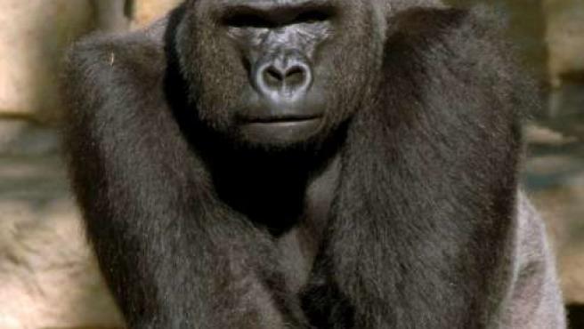 Los gorilas son portadores de un virus muy similar al VIH-P.