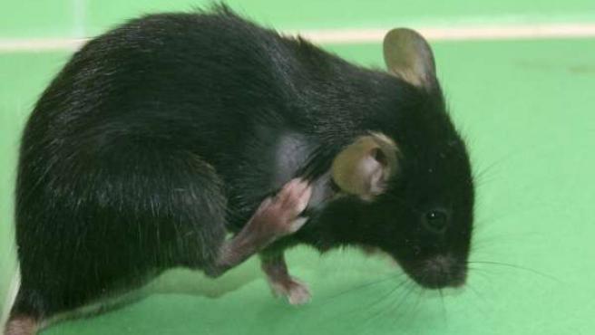 Ratón de laboratorio rascándose.