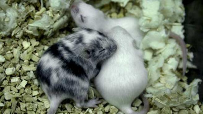 Fotografía cedida por el CNIO de los ratones utilizados en una de las investigaciones.