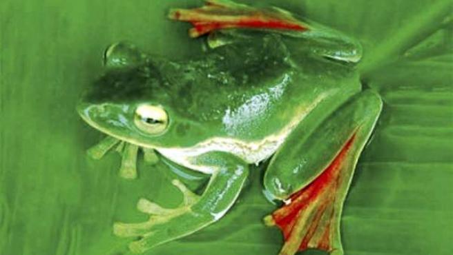 Ejemplar de una pequeña rana voladora, que utiliza las membranas de sus largas patas rojas para desplazarse por el aire.