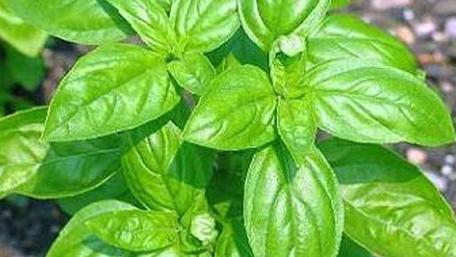 Una planta de Albahaca.