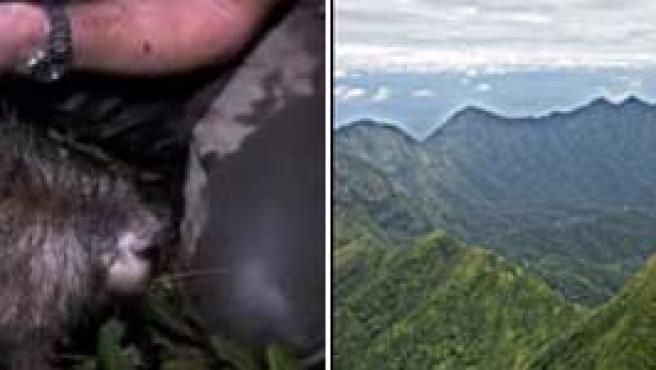 Imagen de la especie de rata más grande del mundo.