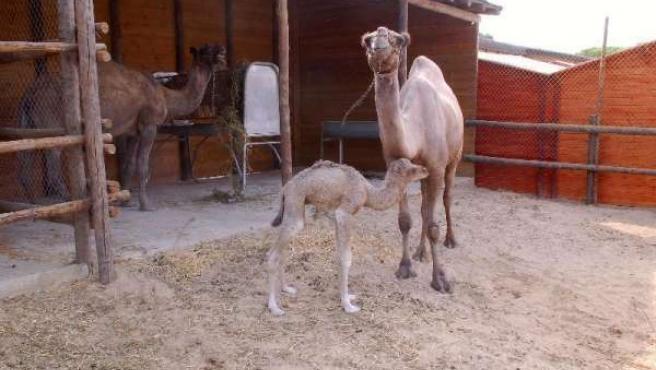 Romero, el dromedario recién nacido, junto a su madre, Mora.