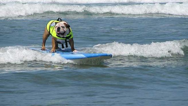 Uno de los participantes en la competición canina de surf de San Diego.