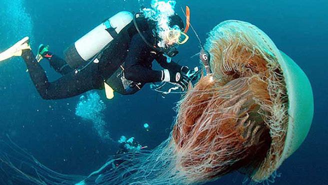 """Imagen de una medusa """"Cyanea Capillata""""."""