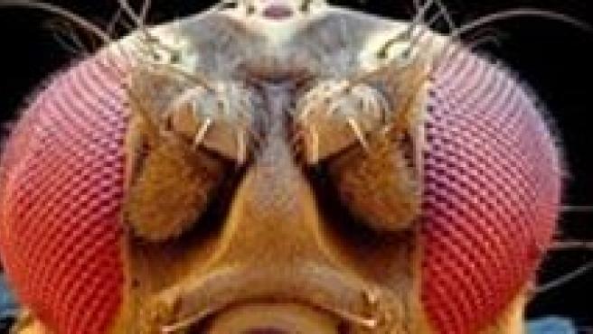 Diferentes experimentos con moscas del vinagre.