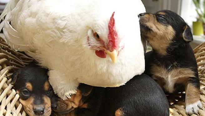 La gallina 'Mabel', junto a sus 'hijos'.