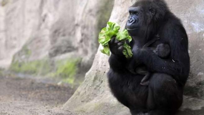 La gorila Machinda, con su cría en el Zoo de Barcelona.