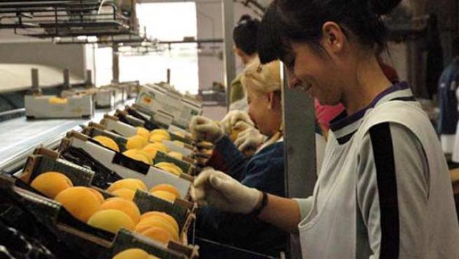 Un grupo de trabajadoras seleccionan y colocan melocotones en cajas.