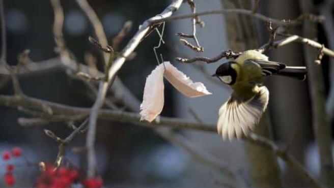 Un pájaro come manteca de cerdo colgada de un gancho en un árbol a las afueras de Moscú para sobrevivir al duro invierno.