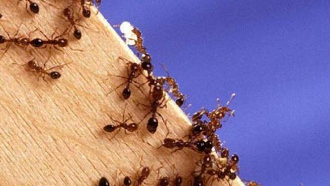 Las hormigas obreras depositan los granos cerca de la reina.