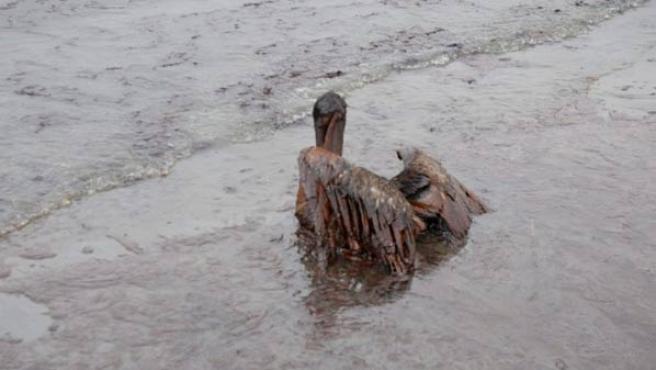 Un pelícano cubierto de petróleo en Queen Bess Island, costa de Grand Isle, Luisiana (EE UU)