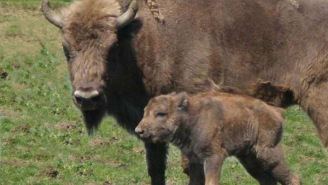 Imagen de un bisonte y su cría