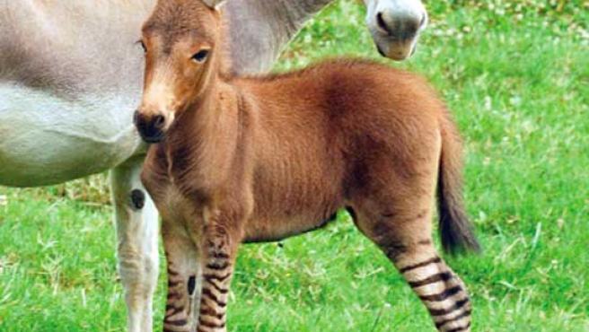 Imagen del equino engendrado mediante un cruce de cebra y burro.
