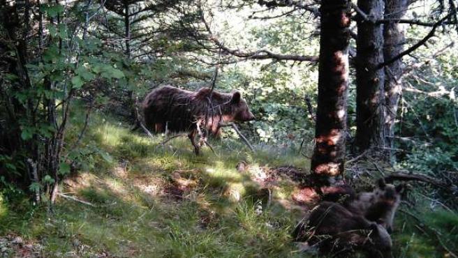 Hembra de oso pardo acompañada por sus cachorros en el Pirineo