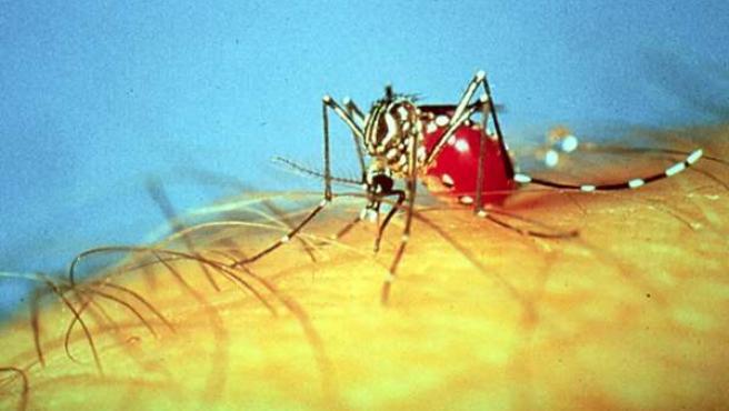 El mosquito Aedes Aegypti es el responsable de enfermedades como el dengue o la fiebre amarilla.
