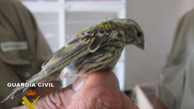 Uno de los pájaros decomisados por la Guardia Civil