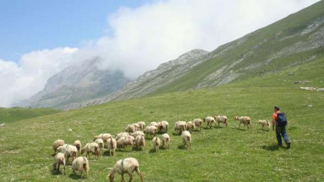 Ovejas En Picos De Europa