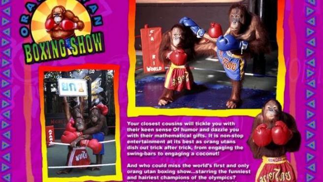 Los orangutanes boxeadores se han convertido en la principal atracción del Safari World de Bangkok.