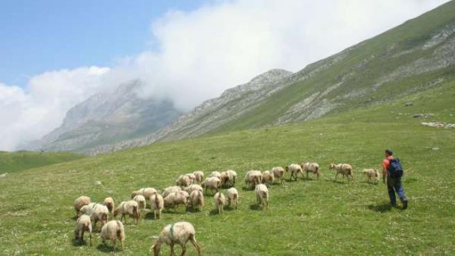 ovejas Picos de Europa
