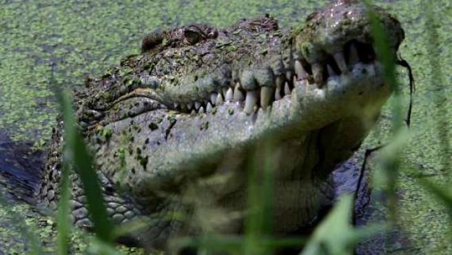 Un cocodrilo podría ser el causante del accidente del Congo.