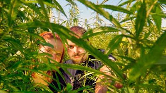 Una pareja se abre paso por un laberinto de marihuana.