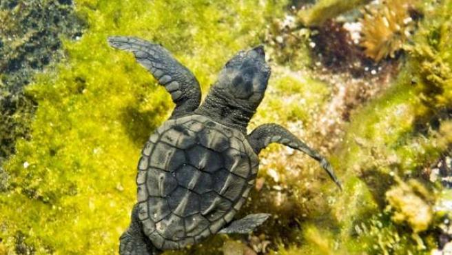 Ejemplar de tortuga boba nadando